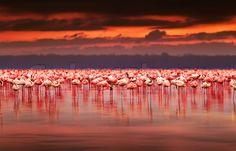 Stock image of 'African flamingos in the lake over beautiful sunset, flock of exotic birds at natural habitat, Africa landscape, Kenya nature, Lake Nakuru national park reserve'