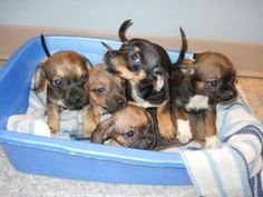 Chih/Doxie mix Puppies is an adoptable Chihuahua Dog in Panora, IA. AGE: Baby - 8 weeks old DESCRIPTION: Chihuahua/Dachschund mix These 5 female babies are adorable and tiny. Mom is Chihuahua and dad ...