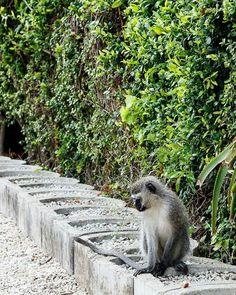Just a great #PhotoOfTheDay by #MarkdeScande #Monkey #AddoElephantNationalPark