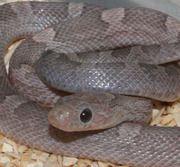 Lavendar Bloodred Corn Snake