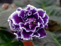 "RS-Chernika (РС-Черника) ""RS-Blueberries"" | (S. Repkina) Double dark violet stars/variable lilac and white edging, lightly ruffled. Green leaves. Standard. (Russian/Ukrainian)"