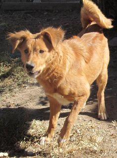 Pembroke Welsh Corgi dog for Adoption in Peralta, NM. ADN-515247 on PuppyFinder.com Gender: Female. Age: Adult