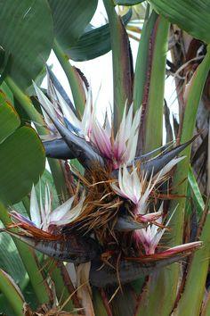 Giant white bird of paridise, triple and quadruple blooms per stem on mature plants...beautiful!
