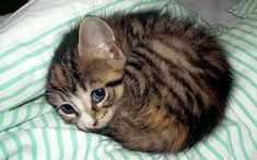 Esse tiquinho de gente só pedindo amor  . . . Quer seu gatinho na bio? Marque e siga @amadosfelinos  #amadosfelinos #thecatmartini #instapets #instacat #catlover #gato #gatos #felinos #instacats #cat #cats #catsofinstagram #cats_of_instagram #topcat #ilovemycat #ilovecats #cute #felino #foto #adorogatos #mascote #adote #adoção #filhotes #kitten #maedegato #amogatos #gatinhos #instagato #catsfollowers