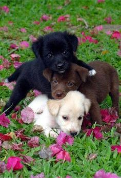 I need a doggy. black chocolate and yellow lab puppies Cute Baby Animals, Animals And Pets, Funny Animals, Cute Dogs And Puppies, I Love Dogs, Adorable Puppies, Doggies, Puppies Puppies, Funny Puppies