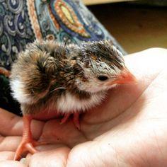 Ураааа!! У нас первые малыши !! #beme_beme#цесарки#птенцы