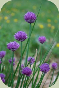 Chives repel pest insects, another great member of a food forest guild
