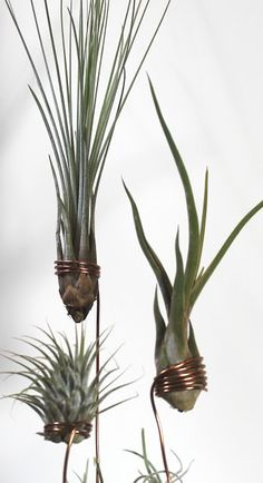 Beates-Kreative-Welten: Tillandsien/ Air Plants