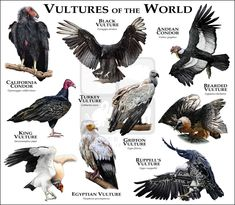 Fine art illustration of some of the bird species native to the Mid-Atlantic Coast in North America Birds of the Mid-Atlantic Coast Animal Species, Bird Species, Beautiful Birds, Animals Beautiful, Animals And Pets, Cute Animals, Animal Posters, Animal Facts, Vulture