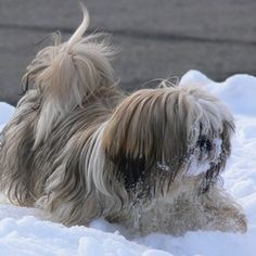 Lhasa apso and shih tzu dogs can be difficult to tell apart.