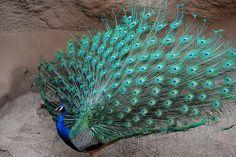 peacocks | Flickr - Photo Sharing!