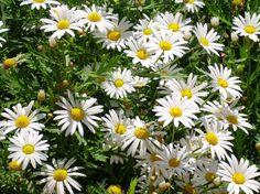 Margarida - Chrysanthemum leucanthemum