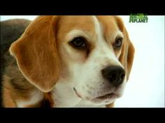 Beagle – Friendly and Curious – Pup Home