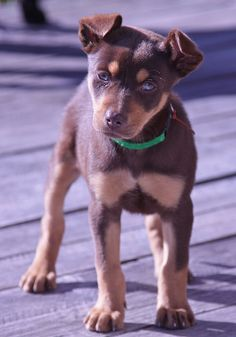 today I met two gorgeous kelpie puppies- they were both sold -iucky or I would have come home with one. After nearly 15 years with a kelpie maybe now I need a different dog?