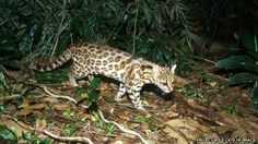 A new species of wild cat has been identified in South America. By comparing DNA sequences, scientists have revealed that two populations of tigrina (formerly recognised as being a single species, Leopardus tigrinus) do not interbreed and are evolutionarily distinct. The southern form will acquire the newly recognised scientific name of Leopardus guttulus.