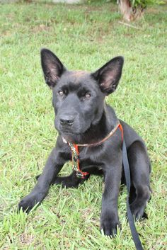 Meet Connor, a Petfinder adoptable German Shepherd Dog Dog | McDonough, GA | 8 weeks old as of 3-4-15. He is microchipped, current on his vaccines and current on...