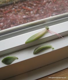 Get Busy Gardening!: Succulent Propagation During The Winter