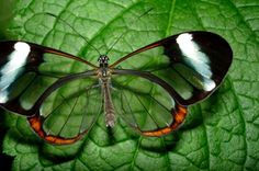 Animals You Won't Believe Actually Exist - Glass Winged Butterfly
