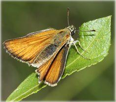 Thymelicus lineolus