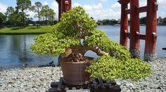 Bonsai Jade Tree Care - Bonsai Tree Care, Tips & Help