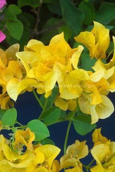 Bougainvillea Lady Mary Baring & # Source by