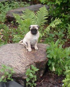 Pug Puppy Love!