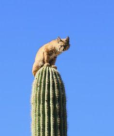 cool, animal, cat cactus 3 Photographer Curt Fonger