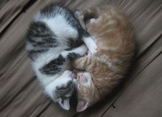 Symmetrical kitten love
