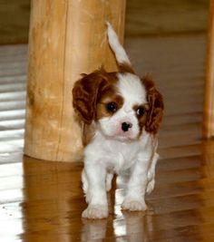Cavalier Puppy full of cuteness!