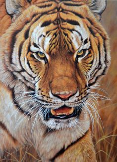 I'm No Kitten an original painting of a tiger by British wildlife artist Alan M Hunt. Part of a collection of paintings of big cats. Wildlife Paintings, Wildlife Art, Animal Paintings, Paintings For Sale, Animal Drawings, Original Paintings, Big Cats Art, Cat Art, Tiger Species