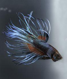Cool Facts About Betta Fish   PawNation