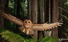 owls in winter national geographic photo | HD Immagine, Ali Gufo, Volare,, gufo, animali, sfondi hd wallpaper ...