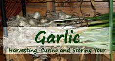 Tips on harvesting, curing and storing garlic to make this job quick and simple. Homegrown garlic beats store bought hands down. Harvesting Garlic, How To Store Garlic, Grow Garlic, Harvest Time, Simple Living, Gardening Tips, Homesteading, Outdoor Gardens, Beats