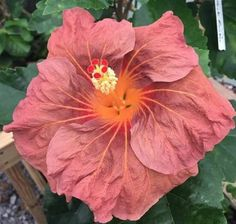 Rare Orange Pink Hibiscus Seeds Giant Dinner Plate Fresh Flower Garden Exotic Hardy Flowering Perennial Tropical 136 by ToadstoolSeeds on Etsy