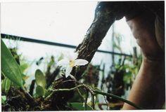 Cordiglottis filiformis