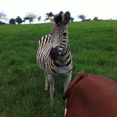 The original zebra print.