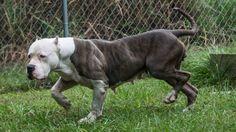 Iron Cobra Iron Cobra, Pitbulls, Puppies, Dogs, Animals, Cubs, Animales, Pit Bulls, Animaux