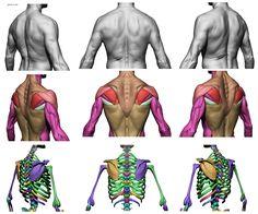 http://anatomy360.tumblr.com/image/142685616220