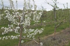 Apple Blossoms in Spring, Londonderry NH