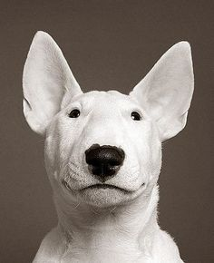 Beauty of a Bull Terrier! Is he/she really smiling? Either way, its a wonderful picture.