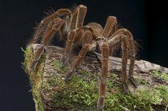 L'immense araignée Goliath pond de 100 à 400 oeufs qui sont déjà matures au bout de 2 mois. La femelle a une plus grande espérance de vie (15 à 25 ans) que le mâle (3 à 6 ans) mais au contraire d'autres espèces la femelle ne mange pas le mâle lors de l'accouplement.  Dans les pays où il est plus courant de voir des araignées Goliath, les habitants peuvent même en faire leur dîner. En Amérique du Sud, il n'est pas rare de se voir servir la plus grosse mygale du monde flambée et rôtie dans des…