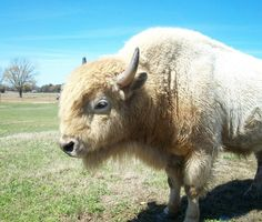 A white buffalo is considered to be a sacred sign in several Native American religions. I got to see this one at the Tennessee Safari Park in Alamo, TN