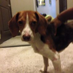 Lost Dogs Orlando February 5 ·  Found  Beagle pup, male, intersection of beggs and hiawasse @ 2:00am.