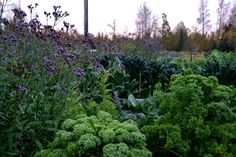 Verbena bonariensis growing with kale.  http://skillnadenstradgard.blogspot.se/2015/01/tid-att-sa-jatteverbena.html #garden #gardening #growyourown #vegetables #trädgård #odla #kitchengarden