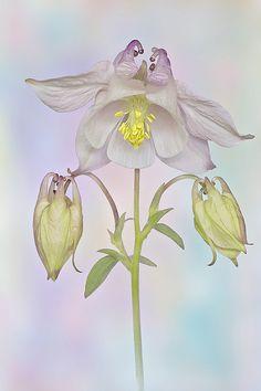 ☆ Aquilegia Hybrid 'Pastel Pink' :¦: By Jacky Parker ☆