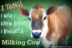 8 Things I wish I knew before I bought a Milking Cow. (www.venisonfordinner.com)