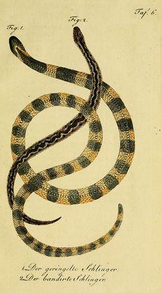 herrndelacepedes05lac_0093 by The Ernst Mayr Library, via Flickr