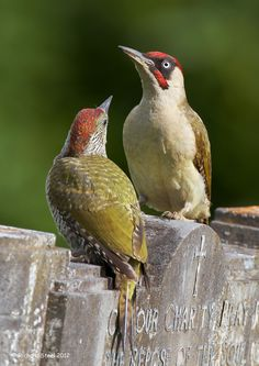 The European Green Woodpecker (Picus viridis) is a member of the woodpecker family Picidae. There are four subspecies and it occurs in most parts of Europe and in western Asia. All have green upperparts, paler yellowish underparts, a red crown and moustachial stripe which has a red centre in males but is all black in females.