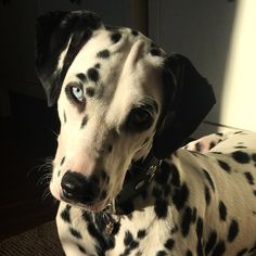 Dalmatian Haidi