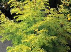 Metasequoia Amber Glow | Star Roses & Plants